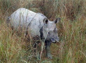 Rhinoceros numbers are increasing due to an end of people military fighting in Nepal