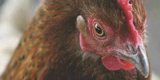 Love of chicken as a cause of climate change