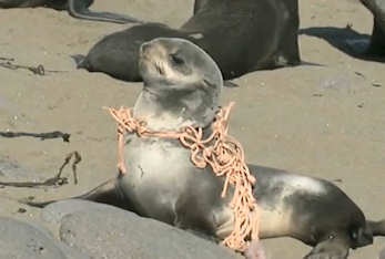 Seal wrapped in plastic... what will happen to it and other wildlife living surrounded by plastic? Click to see the video.