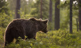 The French government has ruled that the brown bear population in the Pyrenees is no longer sustainable. Photograph: Peter Lilja / Getty Images